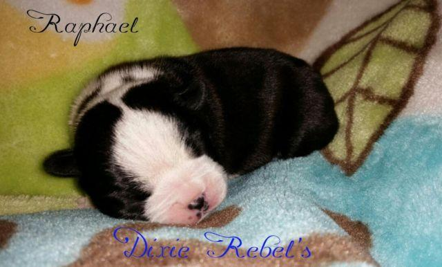 AKC Boston Terrier puppies