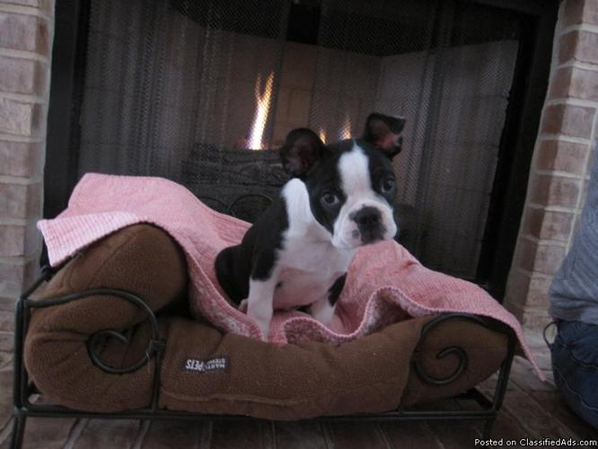 Akc Boston Terrier Puppy For Sale In Lake Jackson Texas Classified Americanlisted Com