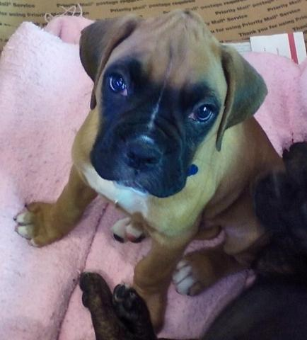 AKC Boxer Male Fawn with Black Mask Darl