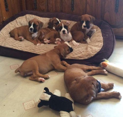AKC Boxer Puppies - 7 weeks old