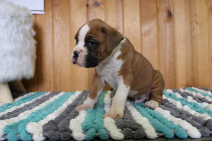 Akc Boxer Puppies For Sale In Goshen Indiana Classified