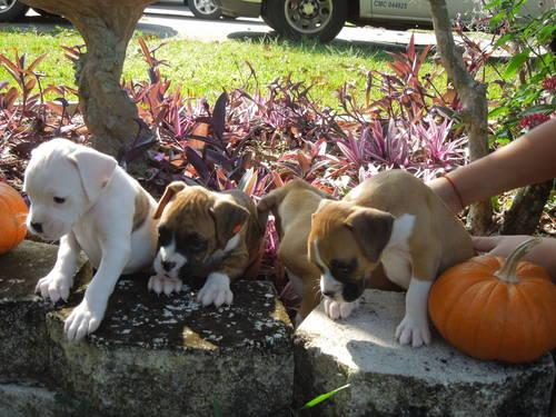 Akc Boxer Puppies For Sale In Ocala Florida Classified Americanlisted Com