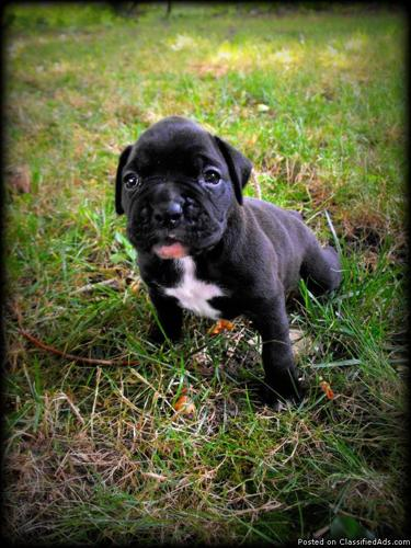 Akc boxer puppies for sale in appleton wisconsin classified