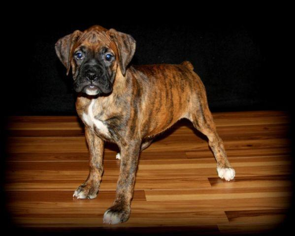 AKC Boxer Puppies for sale in Omaha, Nebraska