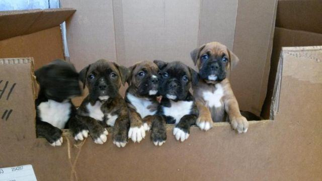 Boxer Puppies For Sale In Indiana Classifieds Buy And Sell In