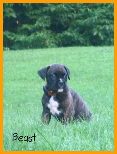 Akc Boxer Puppies For Sale In Warren Maine Classified