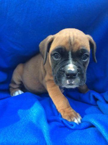 Akc boxer puppies for sale in dayton texas classified
