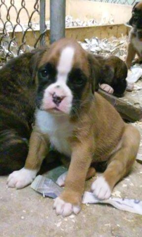 Pets And Animals For Sale In North Dighton Massachusetts Puppy