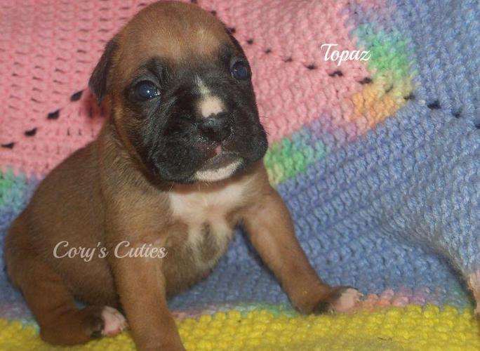 Boxer puppies for sale in mo