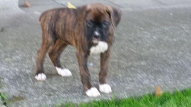 Akc Boxer Puppies For Sale In Gresham Oregon Classified