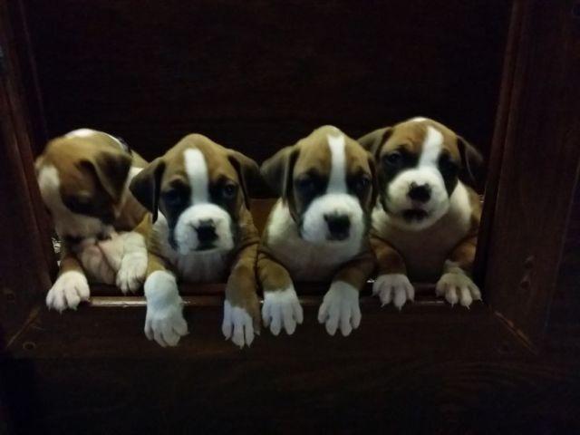 (AKC) BOXER PUPPIES