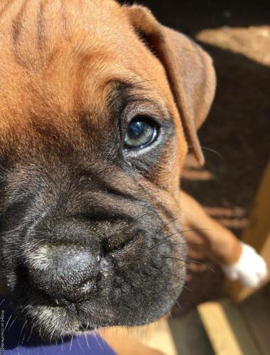 Akc Boxer Puppies For Sale In Dallas Georgia Classified