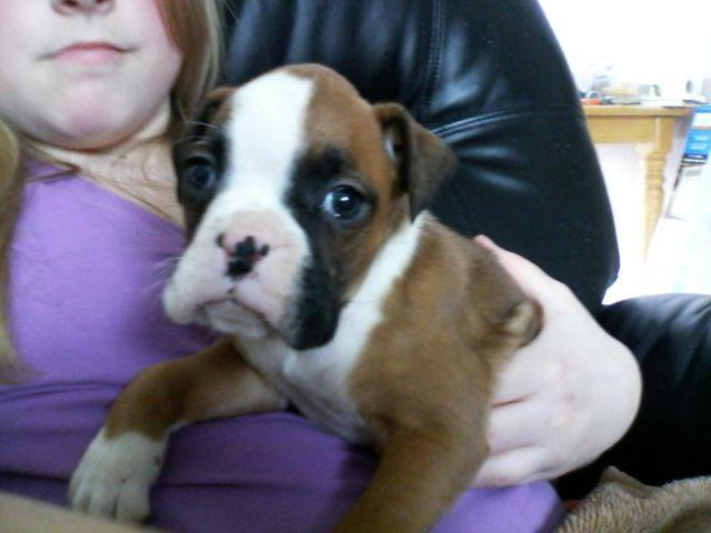 Akc boxer puppies born 1 11 2015 for sale in plainview illinois