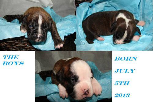Akc Boxer Puppies Champion Bloodlines Excellent Temperment For Sale