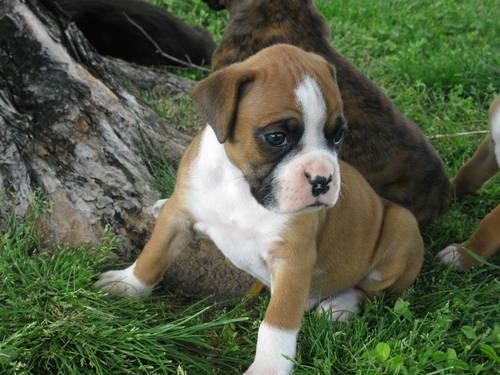 Akc Boxer Puppies For Sale In Colorado