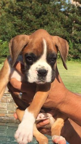 AKC Boxer Puppies from European Imported Parents for sale in Stockton, California