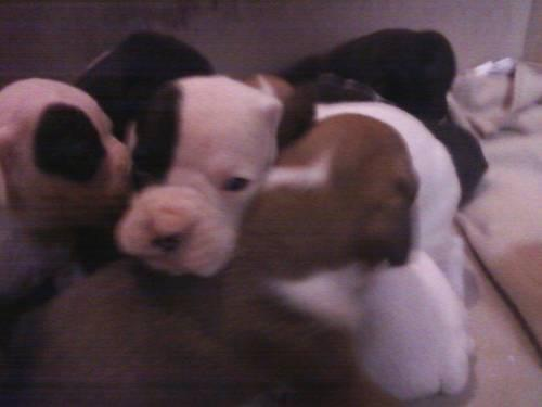 AKC Boxer Puppies-Ready Now