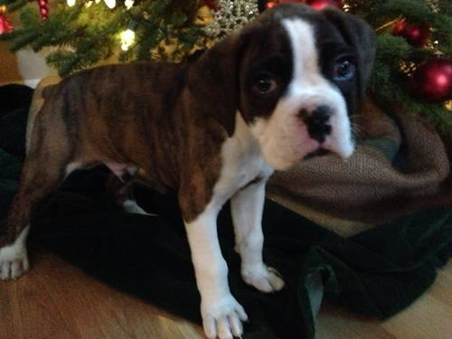 Akc Boxer Puppy For Sale In Happy Valley Oregon Classified
