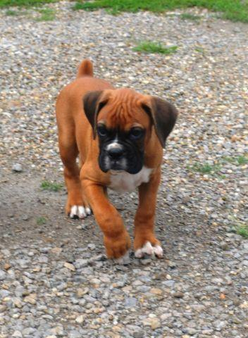 Boxer Puppies For Sale In Ohio Classifieds Buy And Sell In Ohio