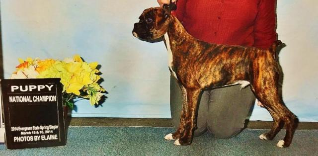 AKC BOXER PUPS - 7 to choose from!