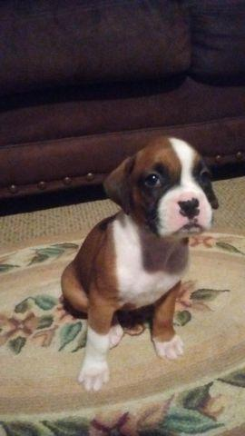 AKC Boxer Pups (Adorable)