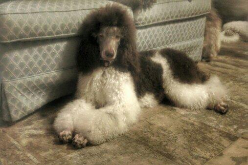 akc brown tri parti female standard poodle-1 yr and a