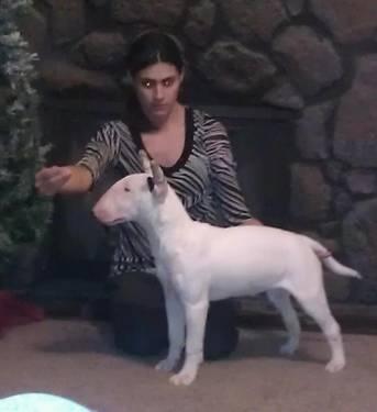AKC Bull Terrier
