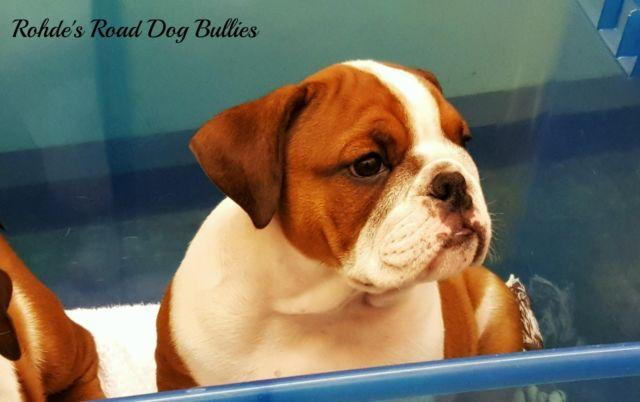 AKC Bulldog Puppies - 10 Weeks old