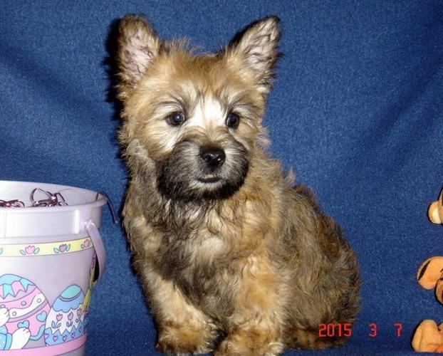 AKC Cairn Terrier puppy-Champion Grand Sired.