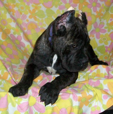 Cane Corso For Sale In Madera California Classifieds Buy And Sell