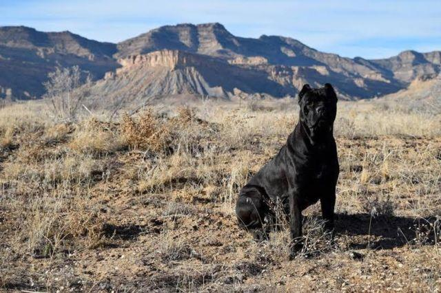 AKC Cane Corso - Italian Mastiff Puppies - Accepting Reservations