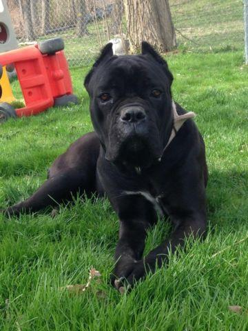 Akc cane corso puppies due soon for sale in portageville new york akc cane corso puppies due soon malvernweather Image collections