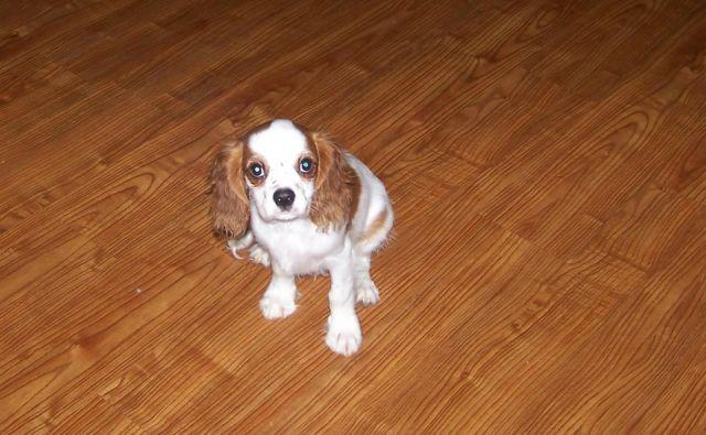 AKC Cavalier King Charles male puppies