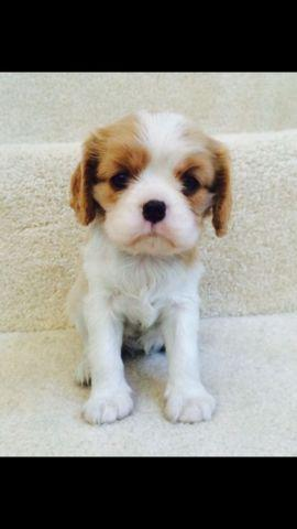 AKC Cavalier King Charles puppies with health guarantee