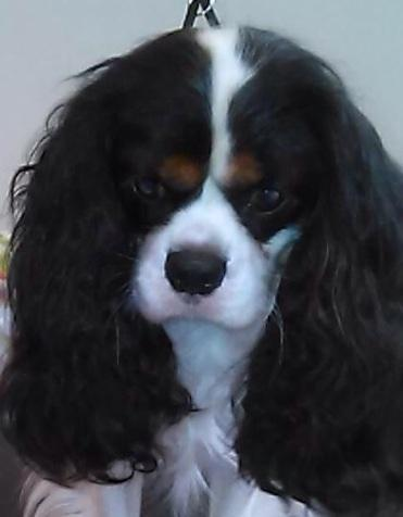 AKC Cavalier King Charles show pup