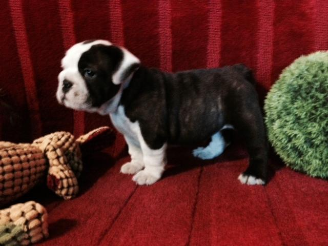 AKC Certified English Bulldogs-10 Weeks Old for Sale in ...