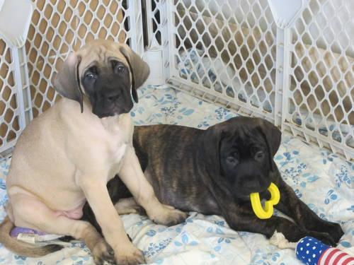 AKC Ch Bloodline English Mastiff Puppies 3 Females left Ready Now for