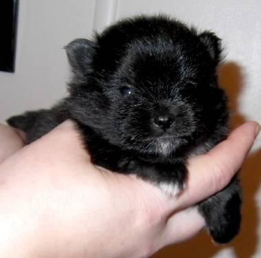 Akc ch grand-sired black parti factor pomeranian!