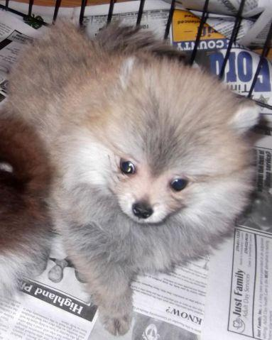 Akc Ch grand sired cream sable female pomeranian!
