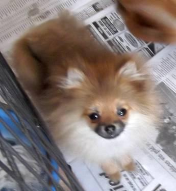 Akc Ch grand-sired org sable female pomeranian!