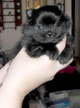 Akc Ch grand-sired solid black pomeranian!
