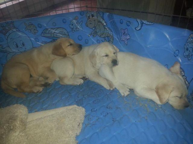 Akc ch grandsired english lab labrador puppies 8 wks