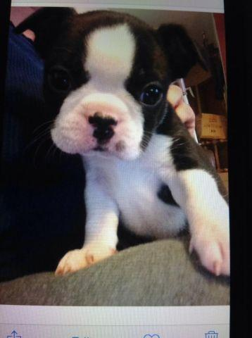 AKC champion bloodline BOSTON TERRIER puppy MALE