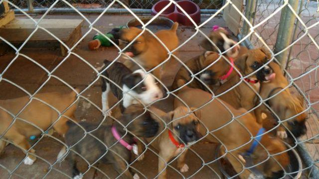 Akc Champion Bloodline Boxer Puppies For Sale In Lutz Florida Classified Americanlisted Com