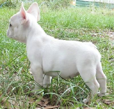AKC Champion Bloodline French Bulldog Puppies For Sale