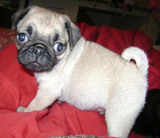 akc pug puppies for sale akc chion bloodline pug puppies for sale in sweetwater 9474