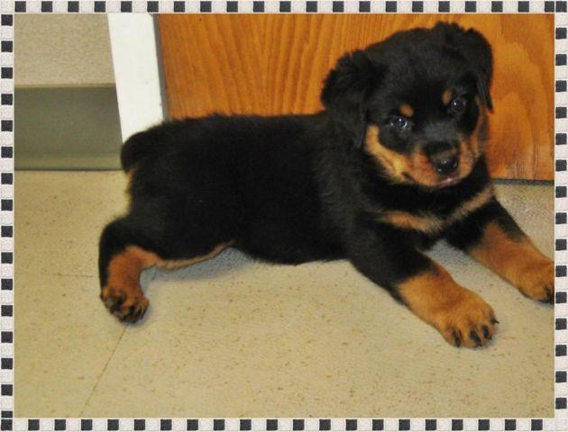 Akc Champion Bred German Rottweiler Puppies 9wks Old For Sale In