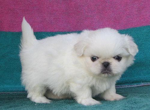 White Pekingese Puppies