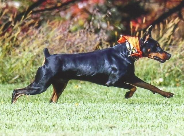 AKC Champion Doberman Pinschers