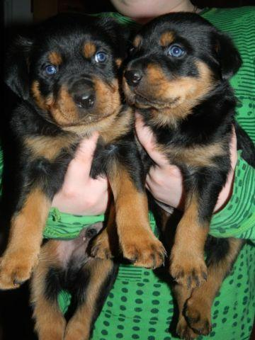 Akc Champion German Rottweiler Puppies For Sale For Sale In Denver